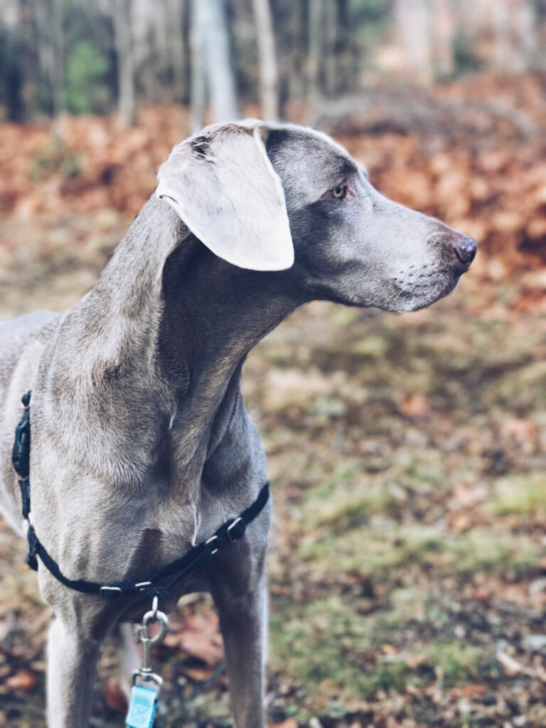 Ginger, a Weimaraner in the fall in New York state.