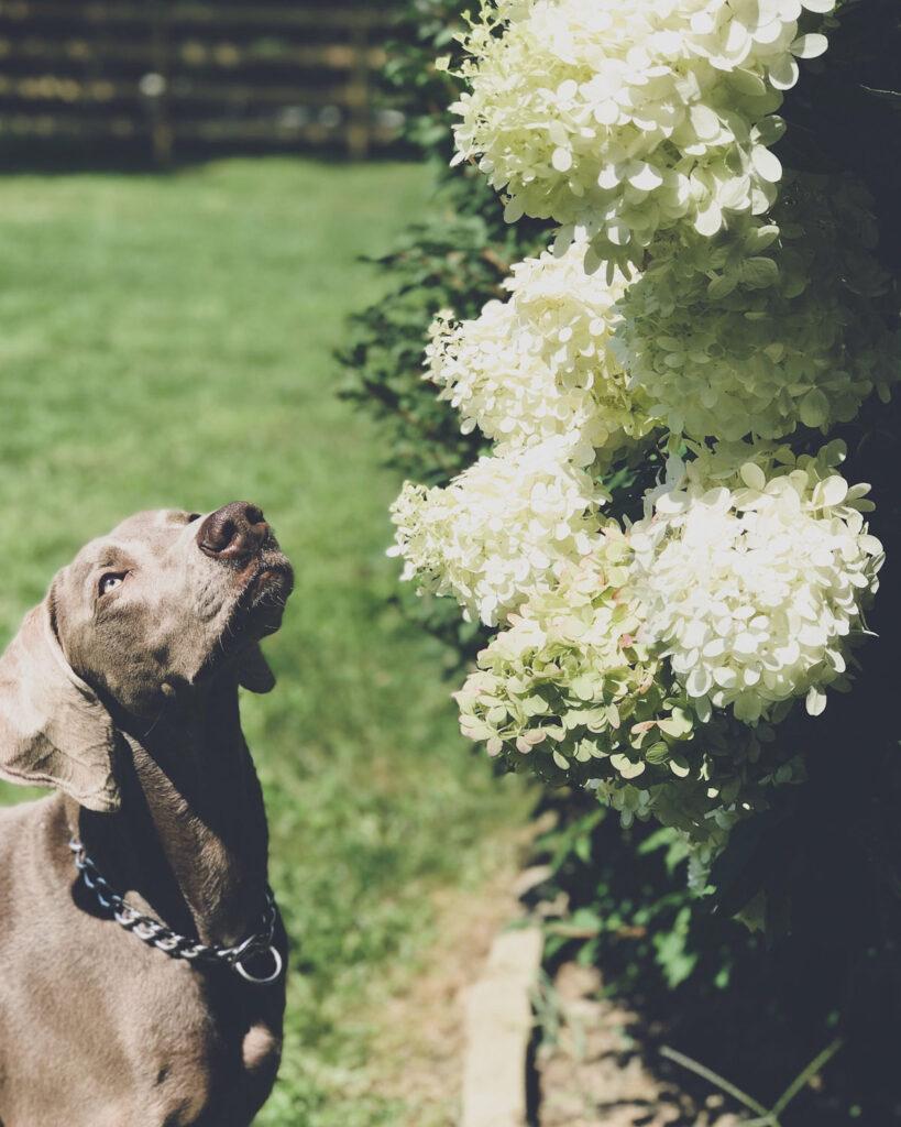 Weimaraner sniffing a hydrangea bush in the summer in New York state.