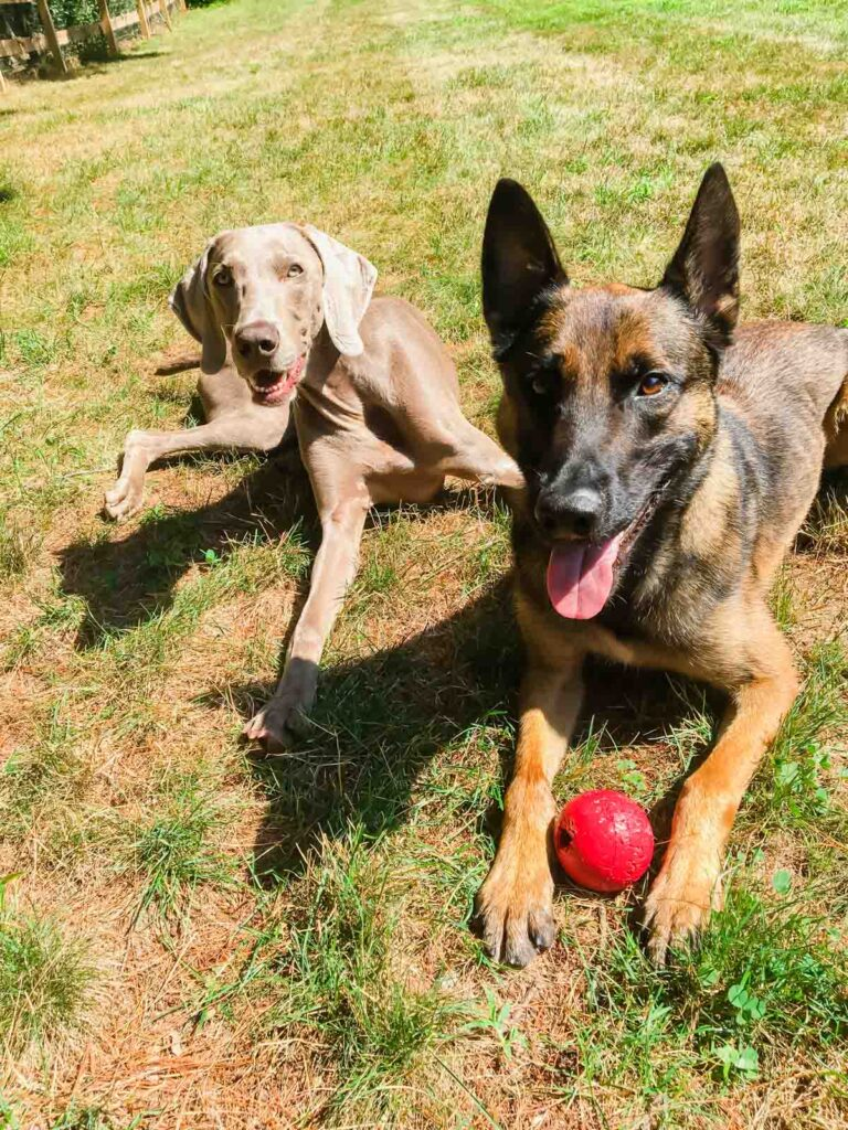 Holly and Dobbs, a 1 year old Weimaraner and 2 year old Belgian Malinois police K9.