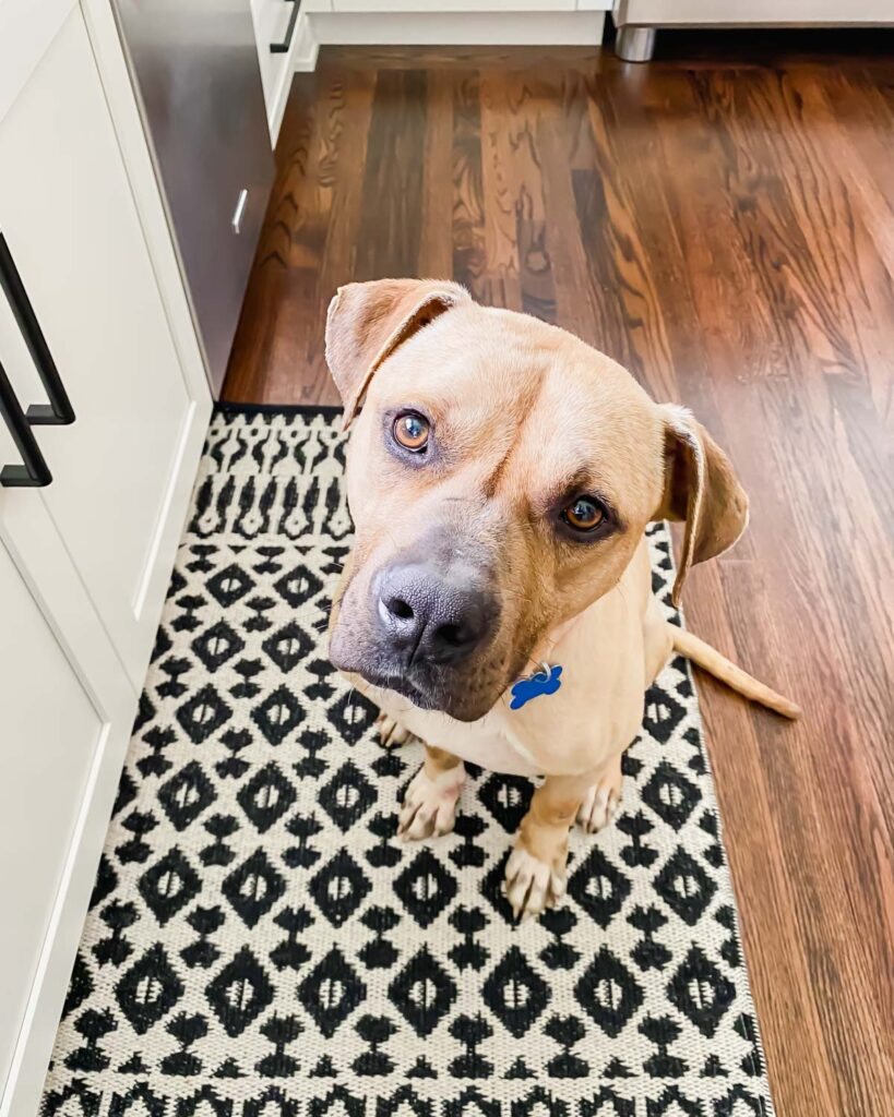 Joey, a foster dog, sitting in the kitchen waiting for scraps.
